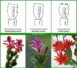 Thanksgiving-Christmas-or-Easter-Cactus2-1.jpg