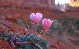 desert-flower.jpg
