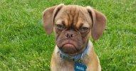 grumpy-dog-earl-puggle-meme-fb__700.jpg